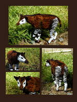 Okapi by afiriti