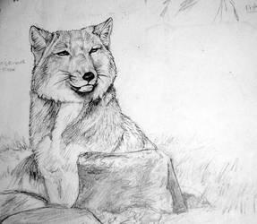 Tibetan Fox by afiriti