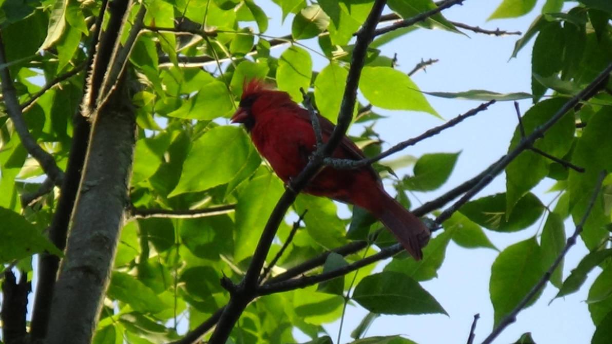 Cardinal (Male) by MelMuff