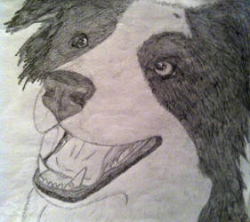 Border Collie by Casey3030