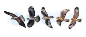 Bonelli's Eagles by omnicogni