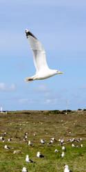 Sea Gull On Helgoland by hyperweasel