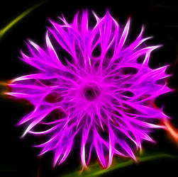 Knapweed1 by mahesh69a
