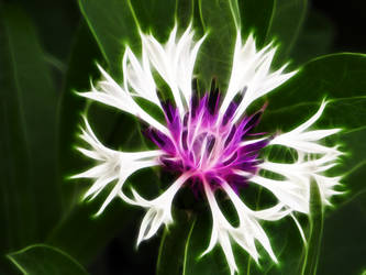 Knapweed4 by mahesh69a