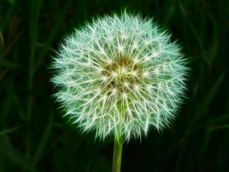 Dandelion1 by mahesh69a