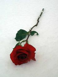 rapunzell - Snow Rose 2 by rapunzell-stock
