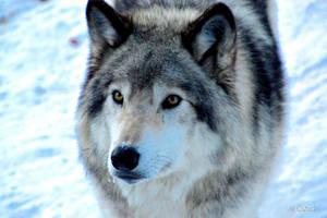 Wild Wolf by Spid4