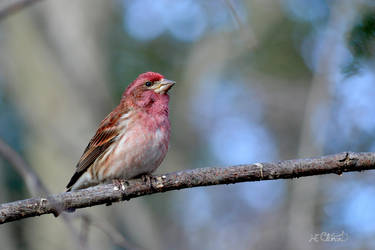 Male Purple Finch by Spid4