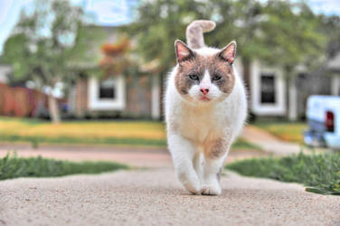 Ivan The Cat Stock lilac point Snowshoe by JSF1