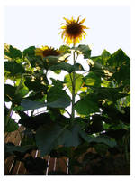 SunFlower by ratdog420
