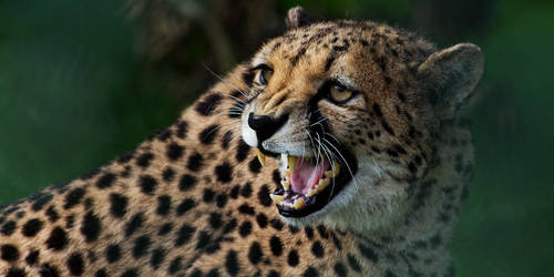 Hissing Cheetah by SewerRar