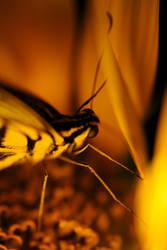 Yellow butterfly by BinAmin