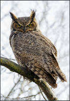 Great Horned Owl by kootenayphotos