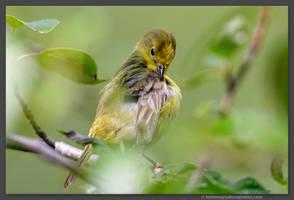 Female Yellow Warbler 2 by kootenayphotos