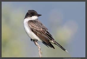 Eastern Kingbird 1 by kootenayphotos