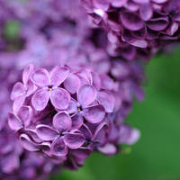 lilac love 3 by MorkOrk