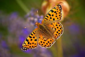 Fire butterfly by Samantha-meglioli