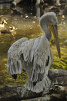 Pelican stock 02 by windfuchs