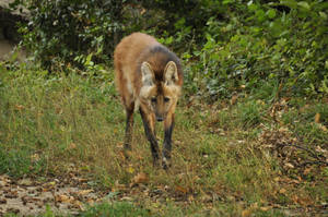 Maned wolf stock 04-2 by windfuchs