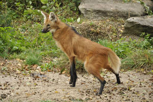 Maned wolf stock 05 by windfuchs