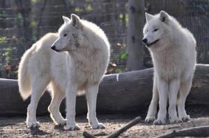 Schoenbrunn Wolves March 2 by windfuchs