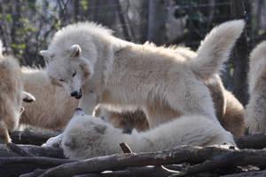 Schoenbrunn Wolves March 7 by windfuchs
