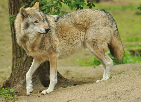 Lueneburger Heide Wolves 2 by windfuchs