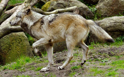 Lueneburger Heide Wolves 14 by windfuchs