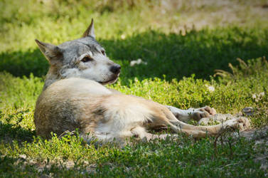 Bad Mergentheim 18 - Resting Wolf by windfuchs