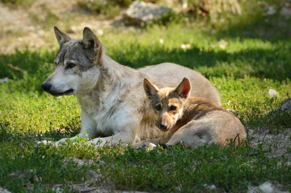 Bad Mergentheim 19 - Wolf With Puppy by windfuchs
