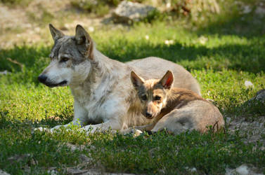 Bad Mergentheim 19 - Wolf With Puppy by windfuchs