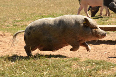 Bad Mergentheim 26 - Running Pig by windfuchs