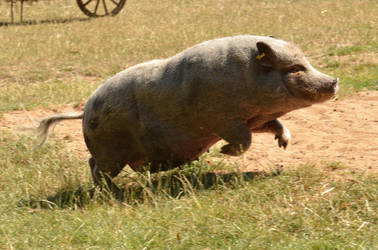 Bad Mergentheim 27 - Running Pig by windfuchs