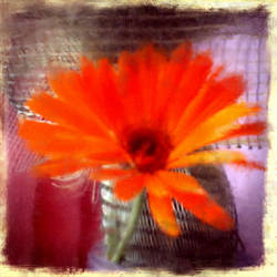 Marigold by Shannon1000