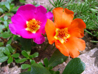 Lovely moss roses by Shannon1000