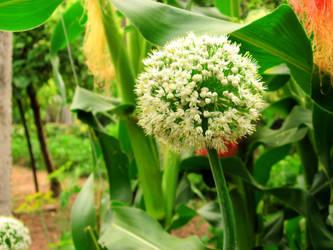 Leek from my garden by Shannon1000