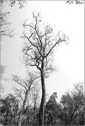 leafless tree II by strangerinthecrowd