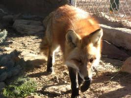 Romeo the Fox by Wolf-of-Samhain