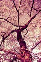 .cherry blossom ii by liquidmorphine