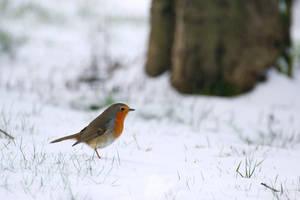 Robin by sourpepper