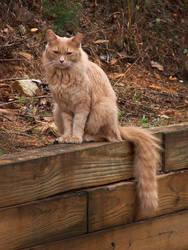 My Cat Carmel! by PhotoshopGirl29