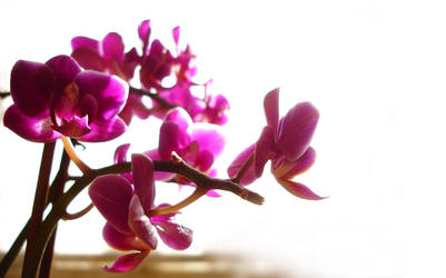Orchidee by navyseal1