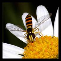 Hoverfly Sucking Nectar by Mar1lyn84