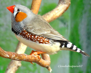 Tiny Brightly Coloured Bird - Adorable Zebra Finch by Cloudwhisperer67