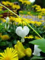 White Bleeding-heart - Coeur de Marie - Dicentra s by Cloudwhisperer67