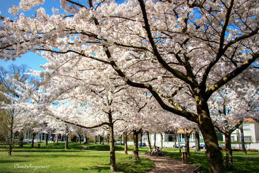 Cherry Trees with White Blossom Strasbourg France by Cloudwhisperer67