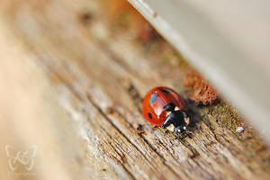 Ladybugs Life III by kyokosphotos