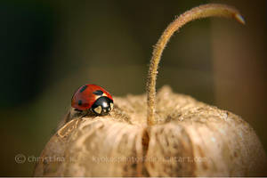 Ladybugs Life IV by kyokosphotos
