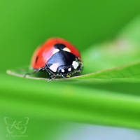 the ladybug by kyokosphotos