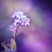deep purple by kyokosphotos